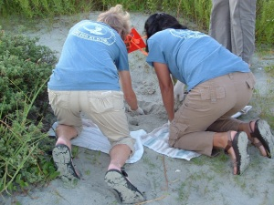 Digging For Baby Turtles