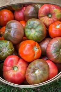basket of heirloom tomatos