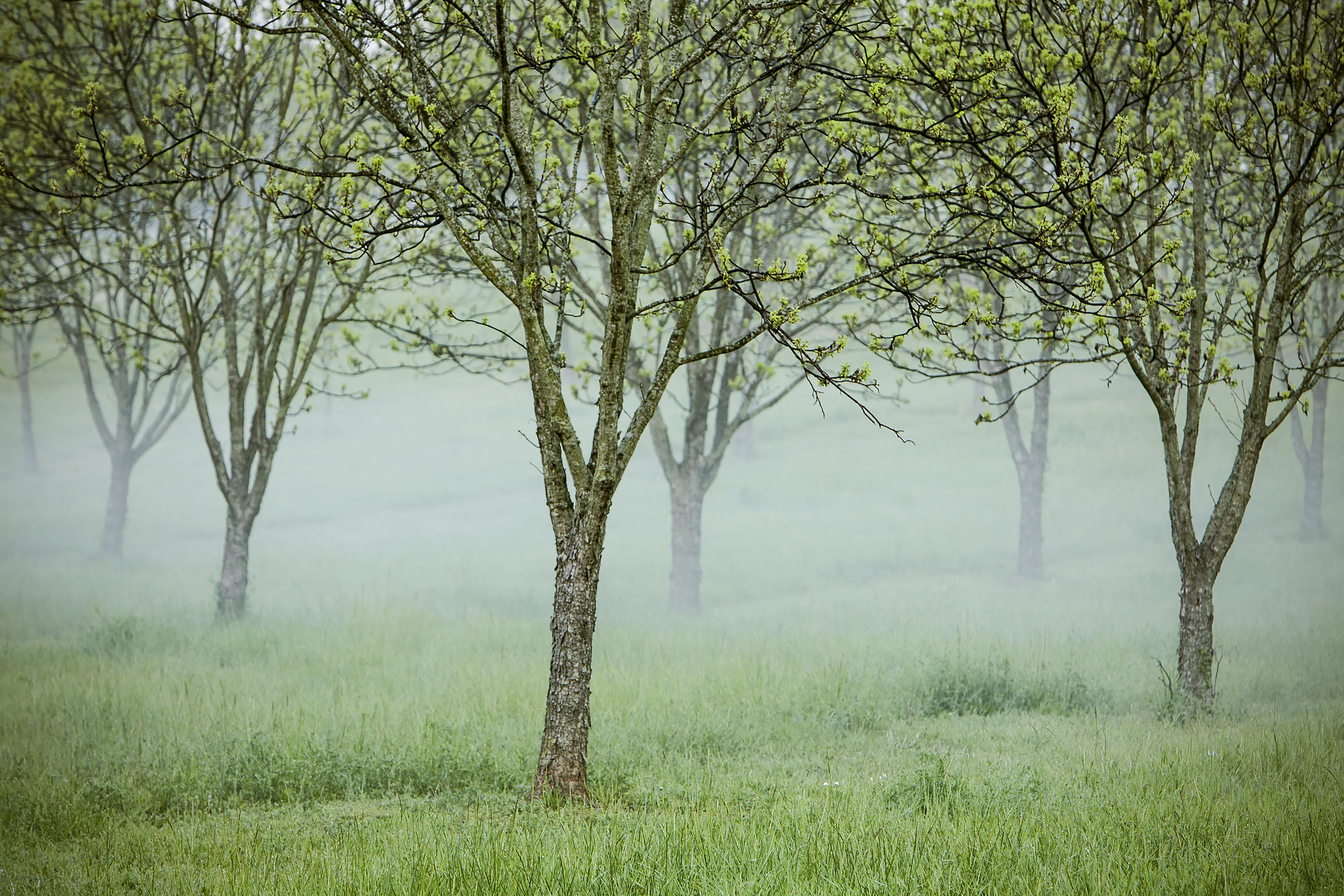 Foggy Green Spring Trees