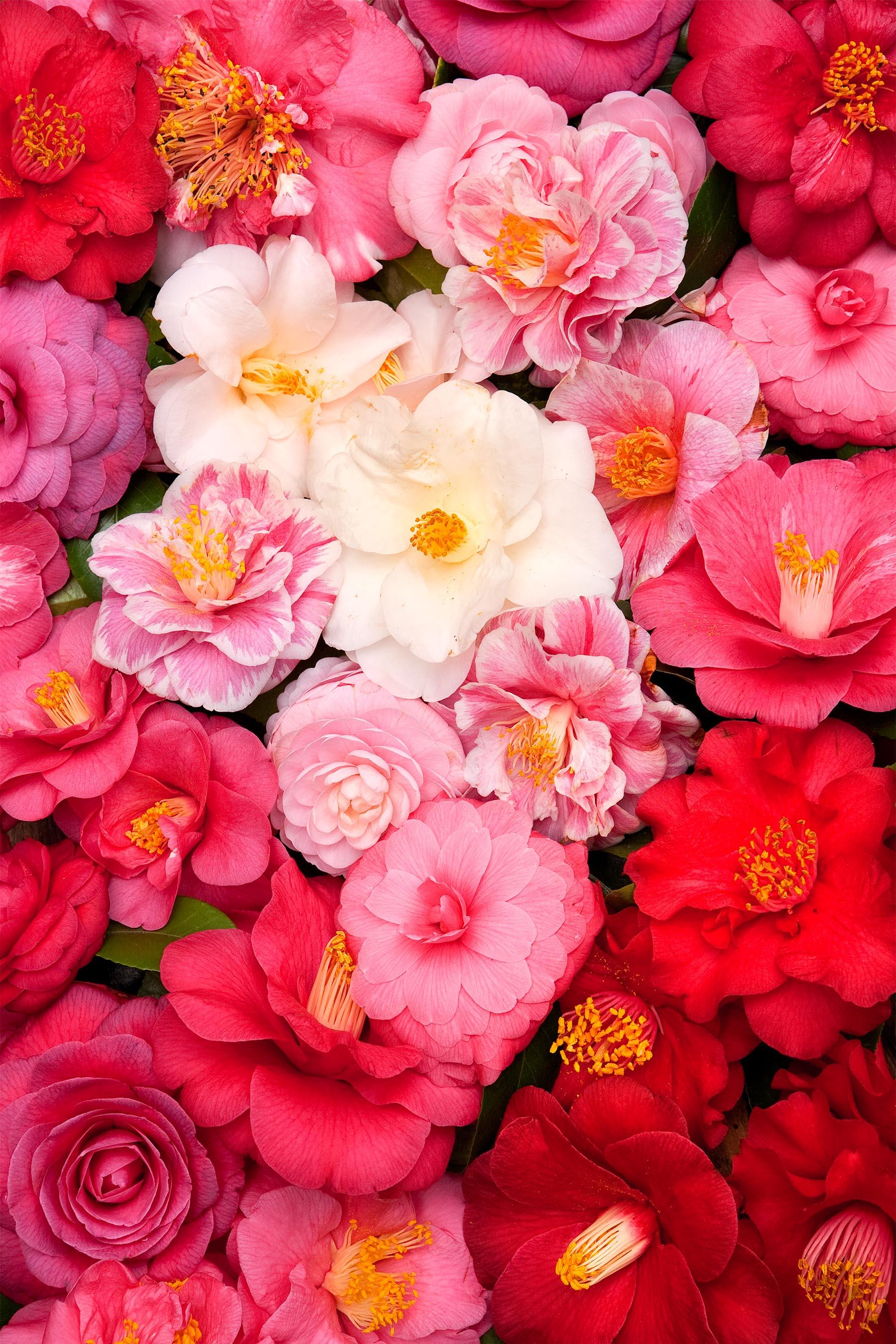 Camellia Blossoms copy